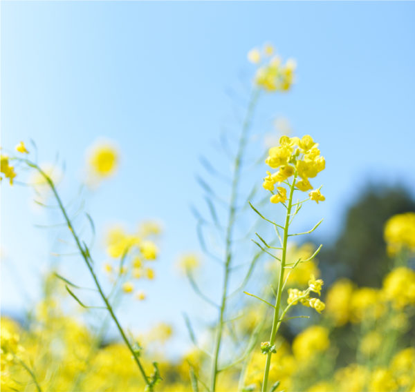 flowering canola